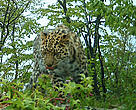 An Amur leopard cub that's close to fully grown is caught on camera in Primorsky Province, Russia. Fewer than 50 Amur leopards now live in the wild. Primorsky Province, Russia.