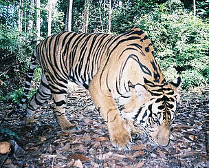 Sumatran tiger photographed by a camera trap in a remote part of the Sumatran jungle  	© WWF