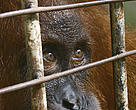 A Sumatran orang-utan, confiscated in Aceh, stares through the bars of its cage