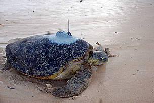 Turtle Frances makes her way to the Indian Ocean with a satellite tag attached to her back on ... / ©: WWF-EARPO / Kimunya Mugo