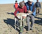Mongolian saiga individuals are fitted with satellite image transmitting collars