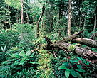 Around 1% of the tropical rainforests worldwide gets regenerated after trees have fallen naturally. Tree falls occur mainly when the rainy season starts. French Guiana.