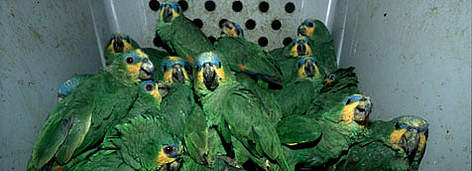 the harmful effects of the globalization of the exotic pet trade Which cat is living next door why keeping exotic animals as pets endangers their well-being and the safety of those around them  victims of the exotic pet trade .