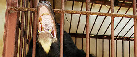 Asiatic black bear in a cage rel=