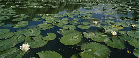 Water lily field, Nymphaea candida.  Unteres Odertal National Park, Germany. rel=