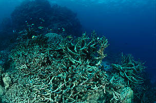 Coral reef destroyed by Crown of Thorn starfish or by coral bleeching.  Great Barrier Reef & Coral Sea, Australia.