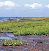 Waddensea, reedbeds and mudflats at the foot of Emerslev cliff. Denmark.  	© WWF / Hartmut JUNGIUS