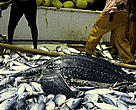 Leatherback turtle caught up in a French Tuna purse-seine fishery in the Atlantic ocean.