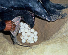 Leatherback turtle laying eggs.