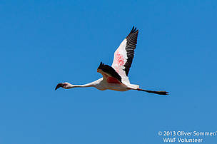 Red flamingo taking flight