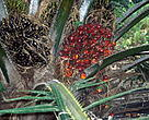 Oil palm (<i>Elaesis guineensis</i>) fruits.<BR>