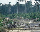 Close to 400 football fields of natural forest are still threatened to disappear daily from Sumatra.