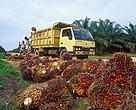 Oil palm (Elaeis guineensis) fruits being loaded onto a truck, Indonesia.