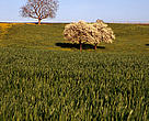 Apple trees in bloom in a wheat field, Avully, Geneva, Switzerland.