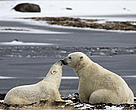 Polar bear adult with young.