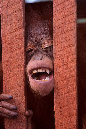 Juvenile Orang-utan (Pongo pygmaeus), caught in a wooden cage, at a saw mill near Sembuluh, Central Kalimantan., Indonesia.