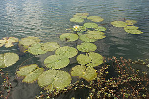 Water lilies on the Kafue river. Floodplains of the Kafue Flats, Zambia.  	© WWF / Martin HARVEY