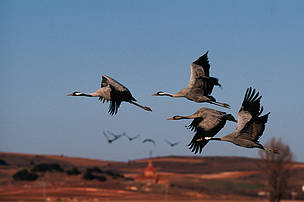 Group of cranes (Grus grus) flying over Gallocanta Lagoon, Spain.