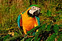 Blue and yellow macaw, Amazonas, Brazil. / ©: WWF / Zig KOCH
