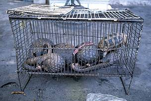 Pangolins in cage