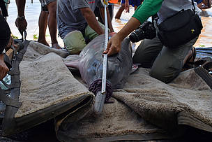 River dolphins in Peru satellite tagged for first time