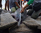 WWF and partners satellite tagging a pink river dolphin in Peru