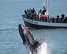 A humpback whale breaches before a boatload of whale watchers. Skjálfandi Bay, North Iceland