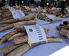 Confiscated Ivory August 26