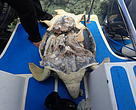 A slaughtered turtle in Semporna, showing the plastron and marginal scutes removed. This was taken during a turtle patrolling and monitoring activity by Sabah Wildlife Department and WWF-Malaysia, accompanied by Eastern Sabah Security Command (ESSCOM)