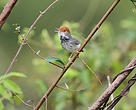 The Cambodian Tailorbird (Orthotomus chaktomuk), a new bird species discovered in 2013.