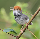 The Cambodian Tailorbird (Orthotomus chaktomuk), a new bird species discovered in 2013.  	© James Eaton / Birdtour Asia