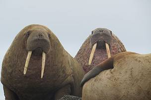 Walruses, Laptev Sea, Russia