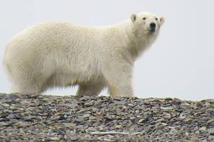 Polar bear spotted on the Laptev Linkages expedition.