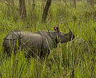 The Greater one-horned rhino in Nepal.