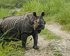 A one-horned rhino spotted after leaving water in Chitwan National Park, Nepal.