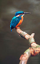 Alcedo atthis Kingfisher Biebrza Marshes, Poland Project number: 9Z0641  / ©: WWF-Canon / Fred F. HAZELHOFF