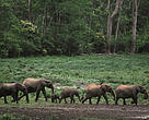 African forest elephant herd in DRC.