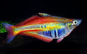 More than 1000 new species found in new guinea wwf for Rainbow fish species
