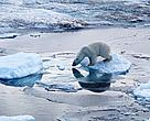 If arctic sea ice continues melting at its current rate, polar bears could become extinct by the end of this century.