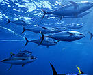 Yellow fin tuna (Thunnus albacares) shoal caught 275ft purse seiner fishing nets,  Pacific ocean, Mexico