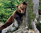 Brown bear in the Carpathian mountains