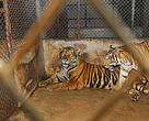 Captive tigers in Thailand