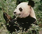 Giant panda <i>Ailuropoda melanoleuca</i> - a 6 year old male eating bamboo.