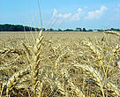 Wheat stalks turn gold as they ripen.
