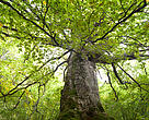 350-year old beech tree