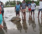 Villagers of Kinoya help release an endangered Green female Turtle