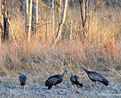 The critically endangered giant ibis is the national bird of Cambodia