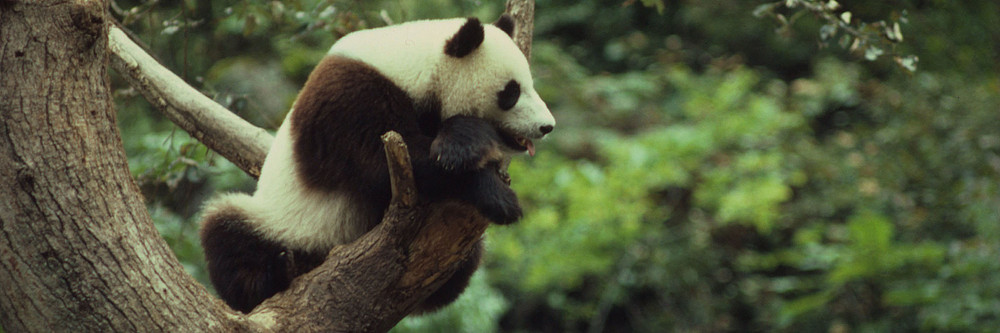 giant pandas the possible end to Youtube bbc video showing giant pandas in the wild the emblem of the world wildlife fund is the undeniably cute giant panda of china this is one reason why so many people wish to see giant pandas when visiting china.