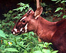"Saola ""Asian Unicorn"""