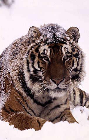 Amur tiger lying in the snow.